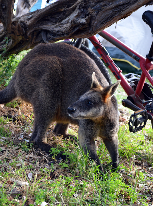 Cranky wallaby