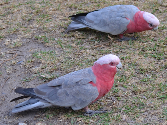 Galahs at Wilson Promontary
